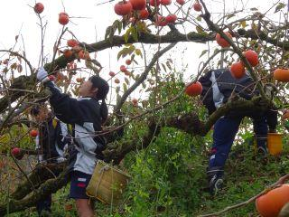 柿収穫③.jpg